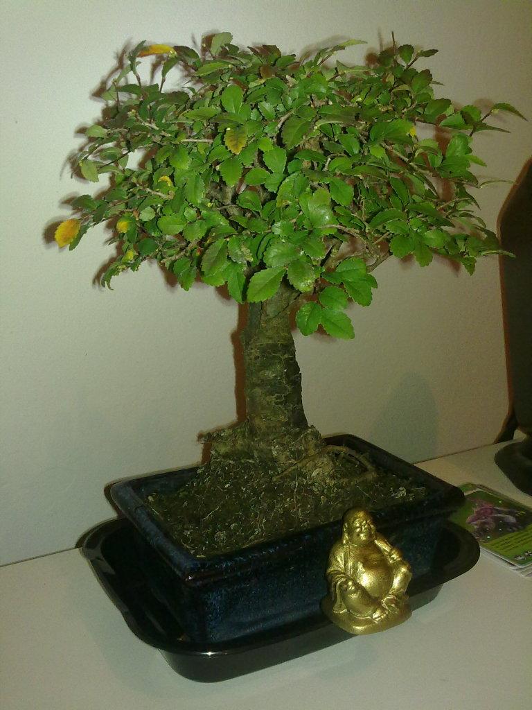 Primer Bonsai - Zelkova parvifolia se le ponen las hojas rojas y amarillas AYUDA 2cxu4qp