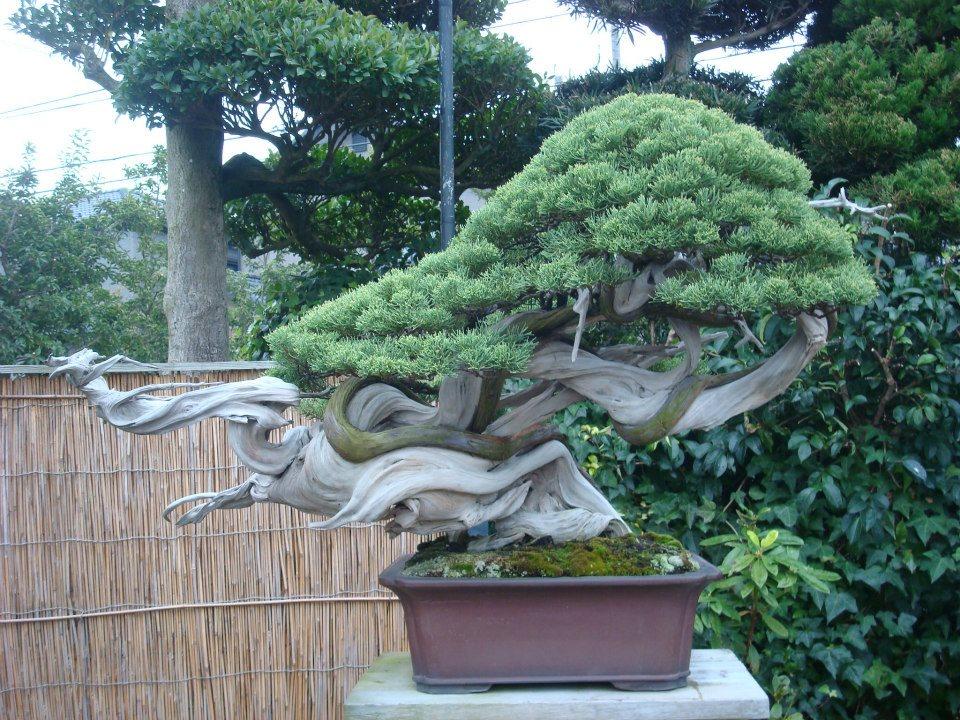 Presentación de los bonsais y la casa de Masahiko Kimura. - Página 2 2ef1htc