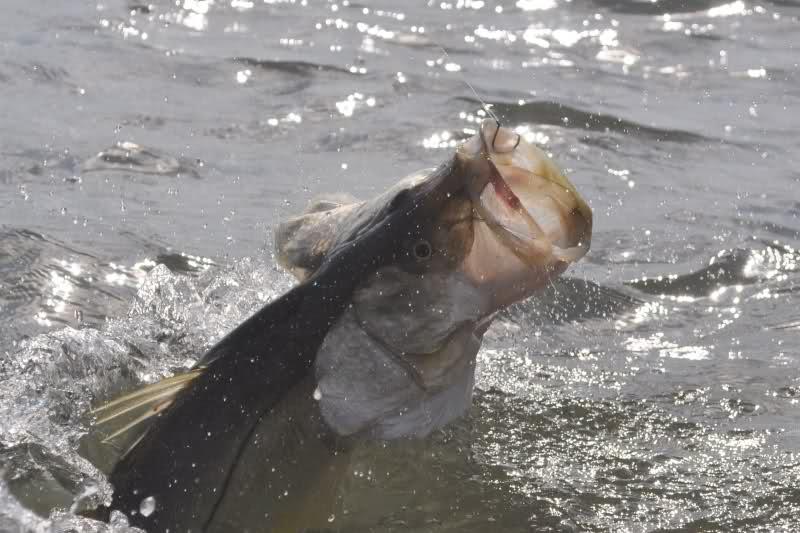 La Pesca del Róbalo (Centropomus sp.) por José Manuel López Pinto / Actualizado a 03 de Noviembre del 2013 2liilgg