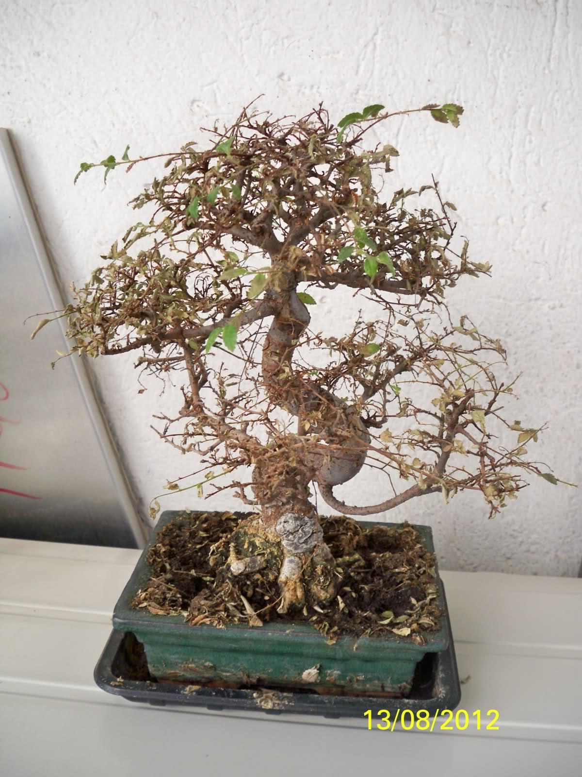 Que tipo de bonsai tengo? 2nlr1x2