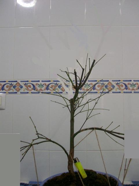 Arce palmatum atropurpureum/ Ahora trasplante 34973as