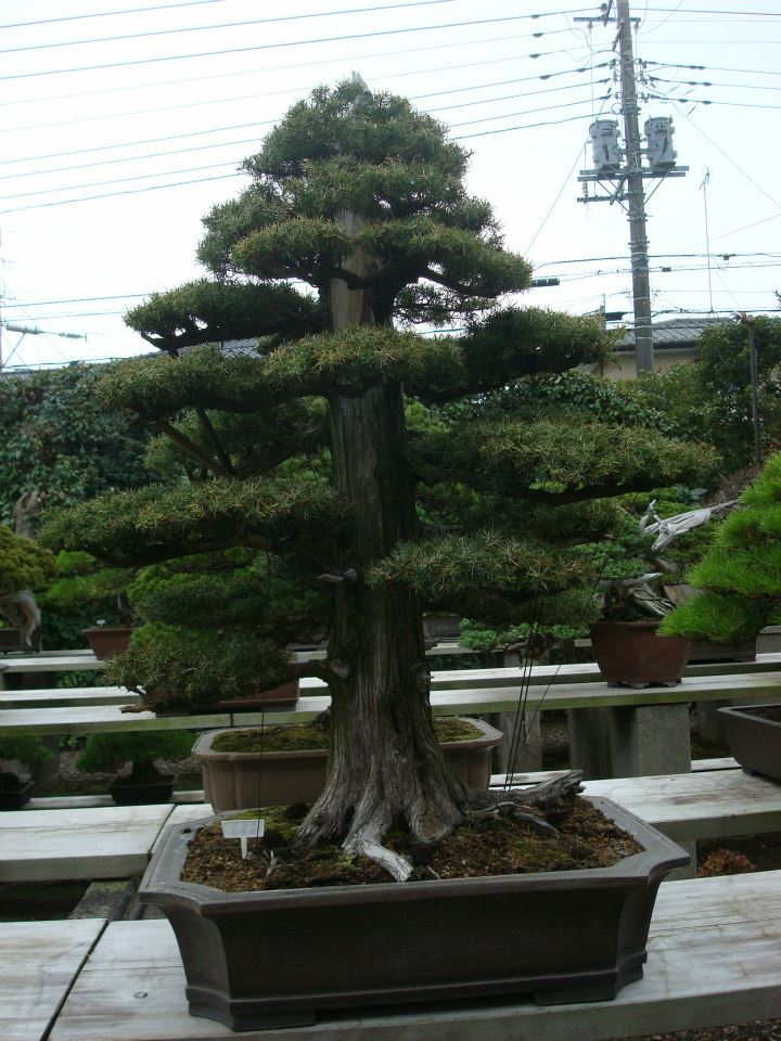 Presentación de los bonsais y la casa de Masahiko Kimura. - Página 2 B51ici