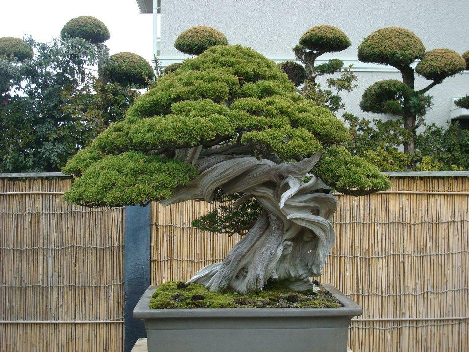 Presentación de los bonsais y la casa de Masahiko Kimura. - Página 2 168zl74
