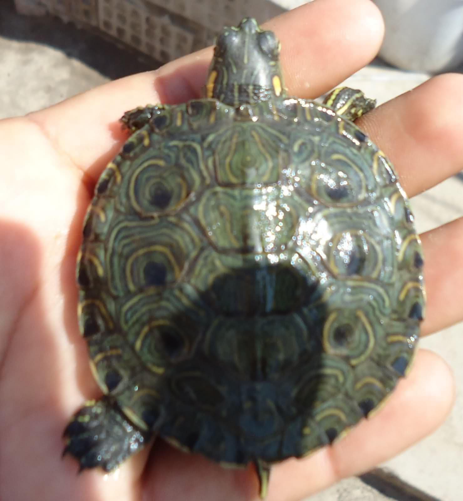 ¿Qué tortuga es? 2c0n0l