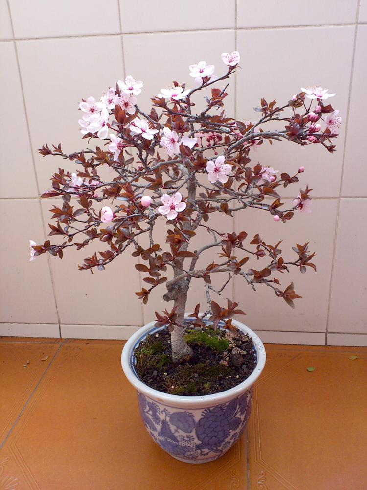 Cerezo rosa 2n9m5c3