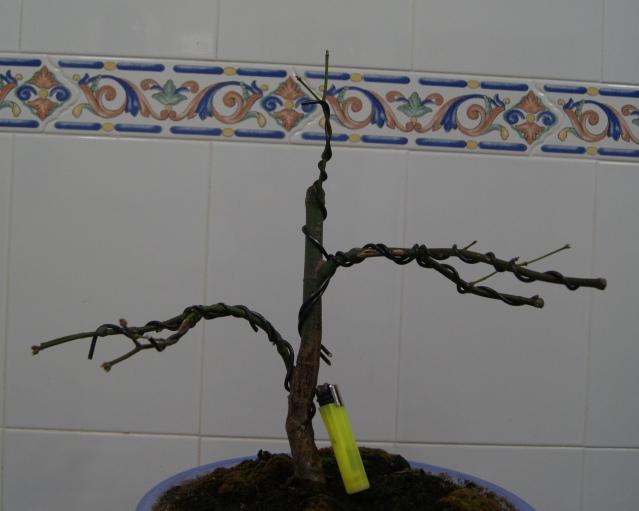 Arce palmatum atropurpureum/ Ahora trasplante 347gx39