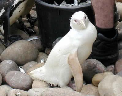Animais albinos (imagens incriveis) A0e0t5