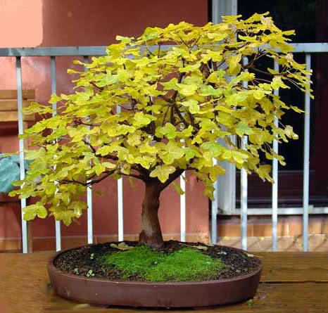 Acer monspessulanum C4vtt