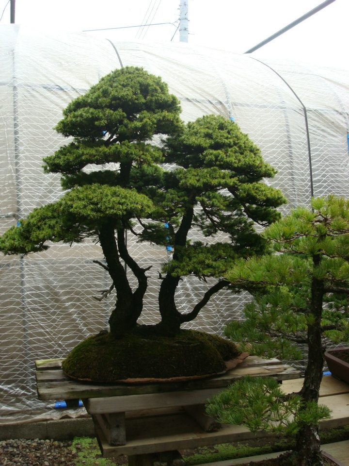 Presentación de los bonsais y la casa de Masahiko Kimura. - Página 2 Dme4io