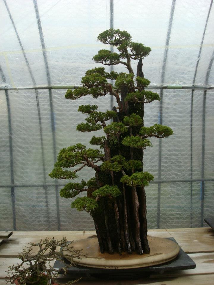 Presentación de los bonsais y la casa de Masahiko Kimura. - Página 2 V6m802