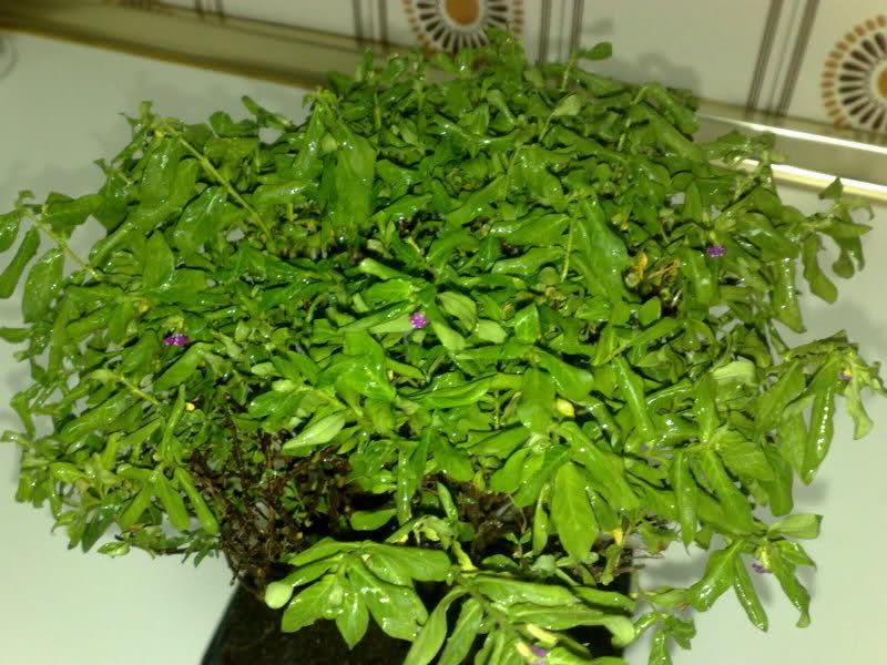 AYUDAAAAAA bonsai cuphea muerto??? 28ckegi