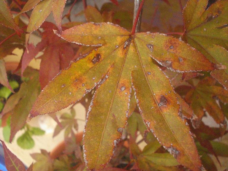 Acer palmatum , ¡HOJAS COMIDAS! 2hydle1