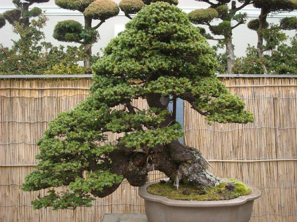 Presentación de los bonsais y la casa de Masahiko Kimura. - Página 2 2s191qe