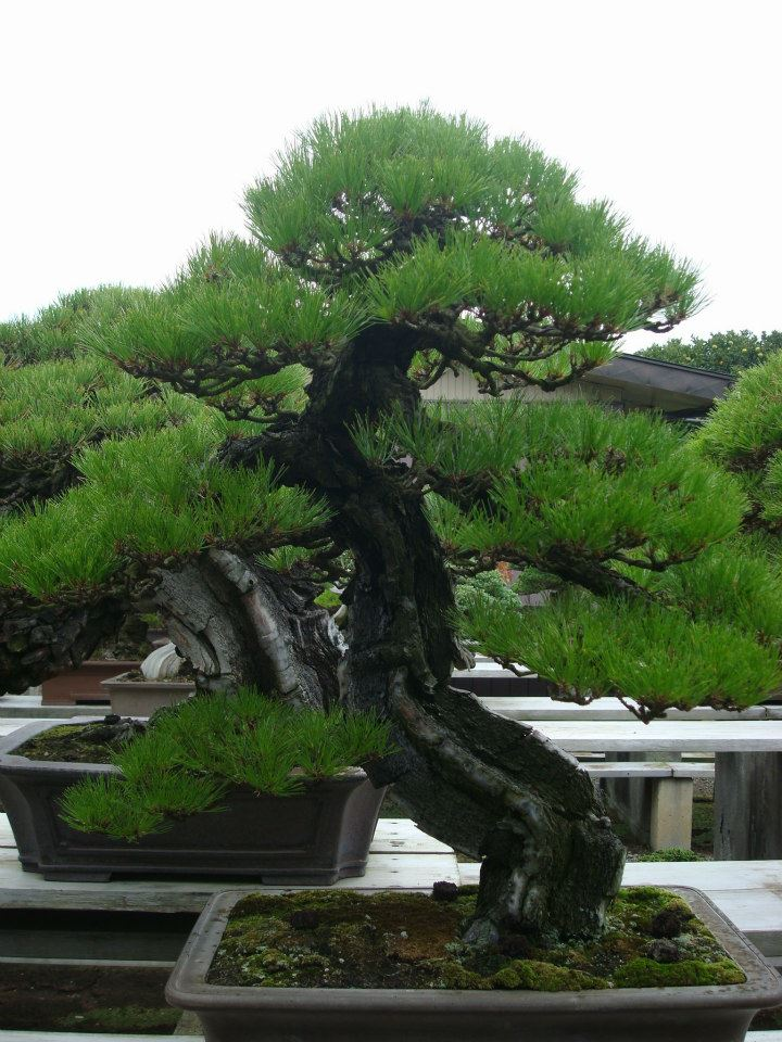Presentación de los bonsais y la casa de Masahiko Kimura. - Página 2 2wokjdt