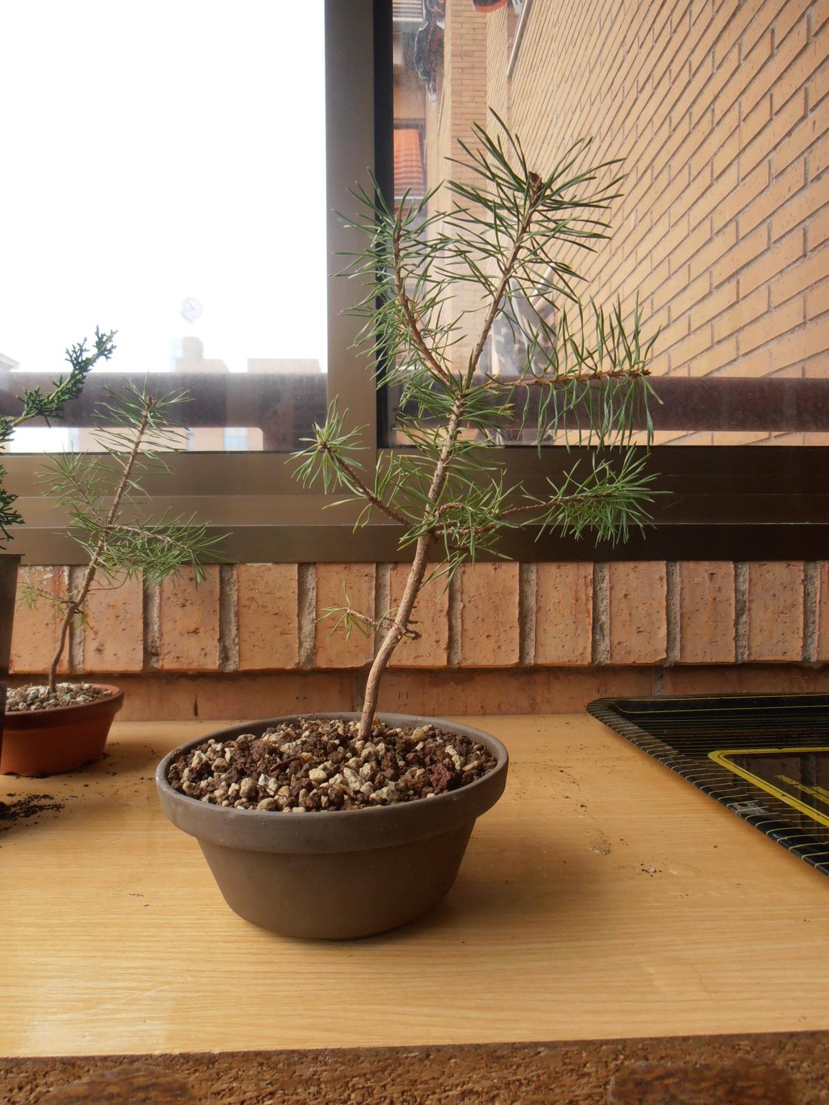 Pinus Silvestrys 2zstkcy