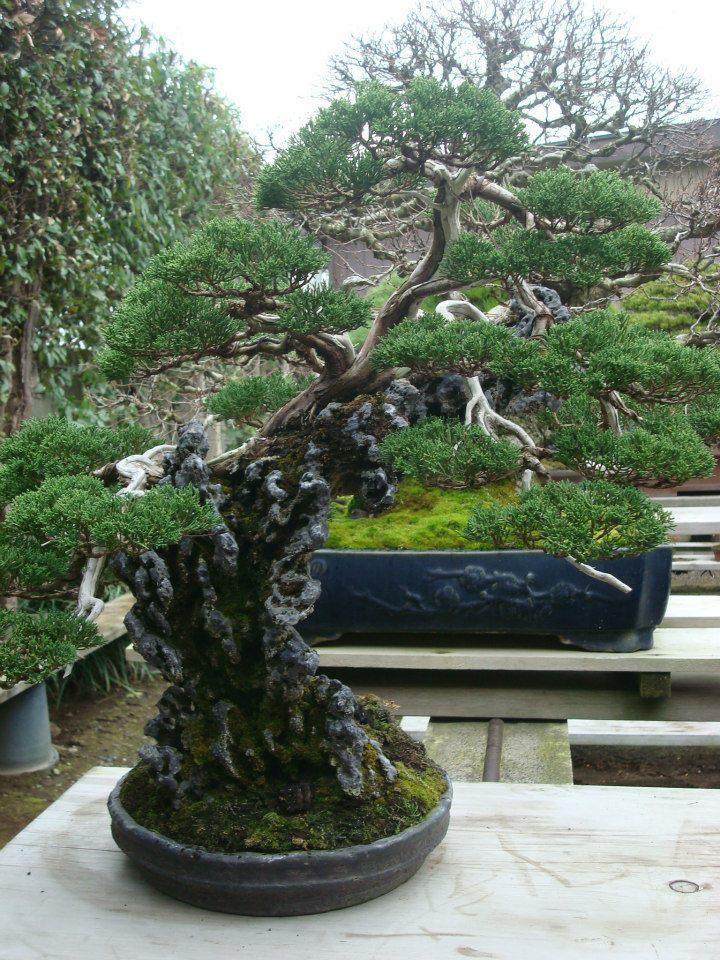 Presentación de los bonsais y la casa de Masahiko Kimura. - Página 2 34efc6h