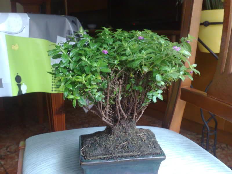 AYUDAAAAAA bonsai cuphea muerto??? B5k292