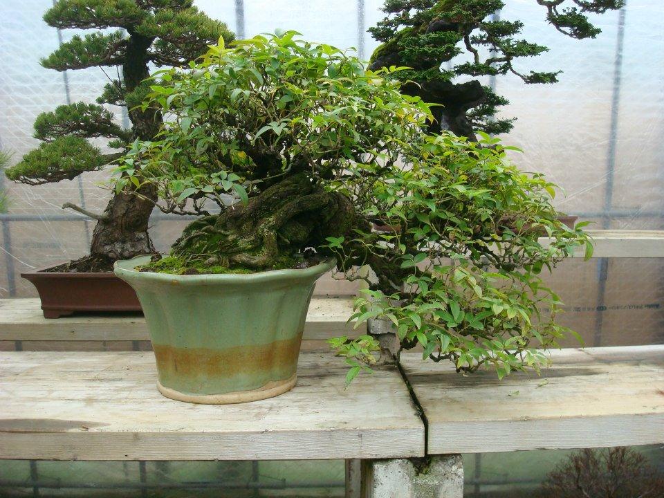 Presentación de los bonsais y la casa de Masahiko Kimura. - Página 2 Ifob2b
