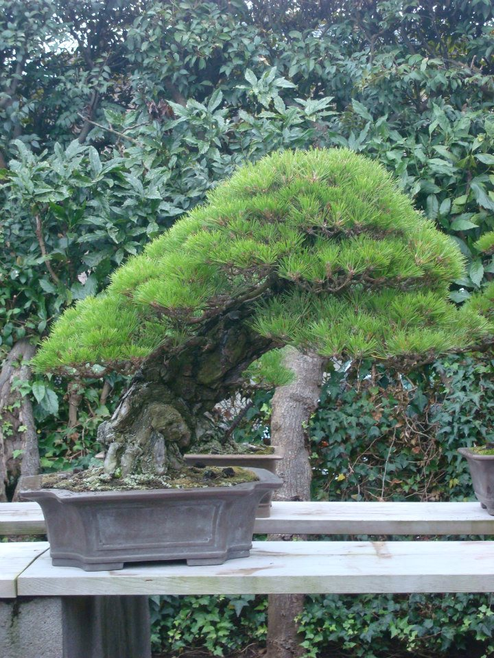 Presentación de los bonsais y la casa de Masahiko Kimura. - Página 2 Jpd9hx