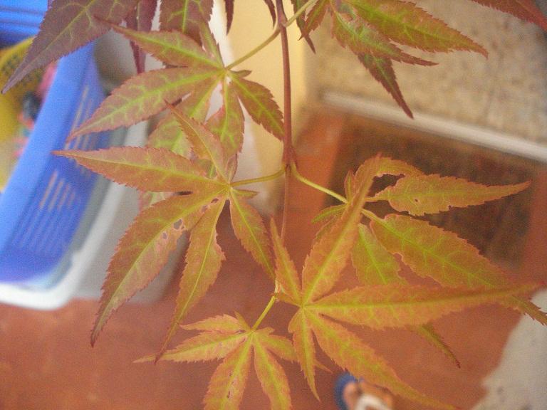Acer palmatum , ¡HOJAS COMIDAS! Jze003