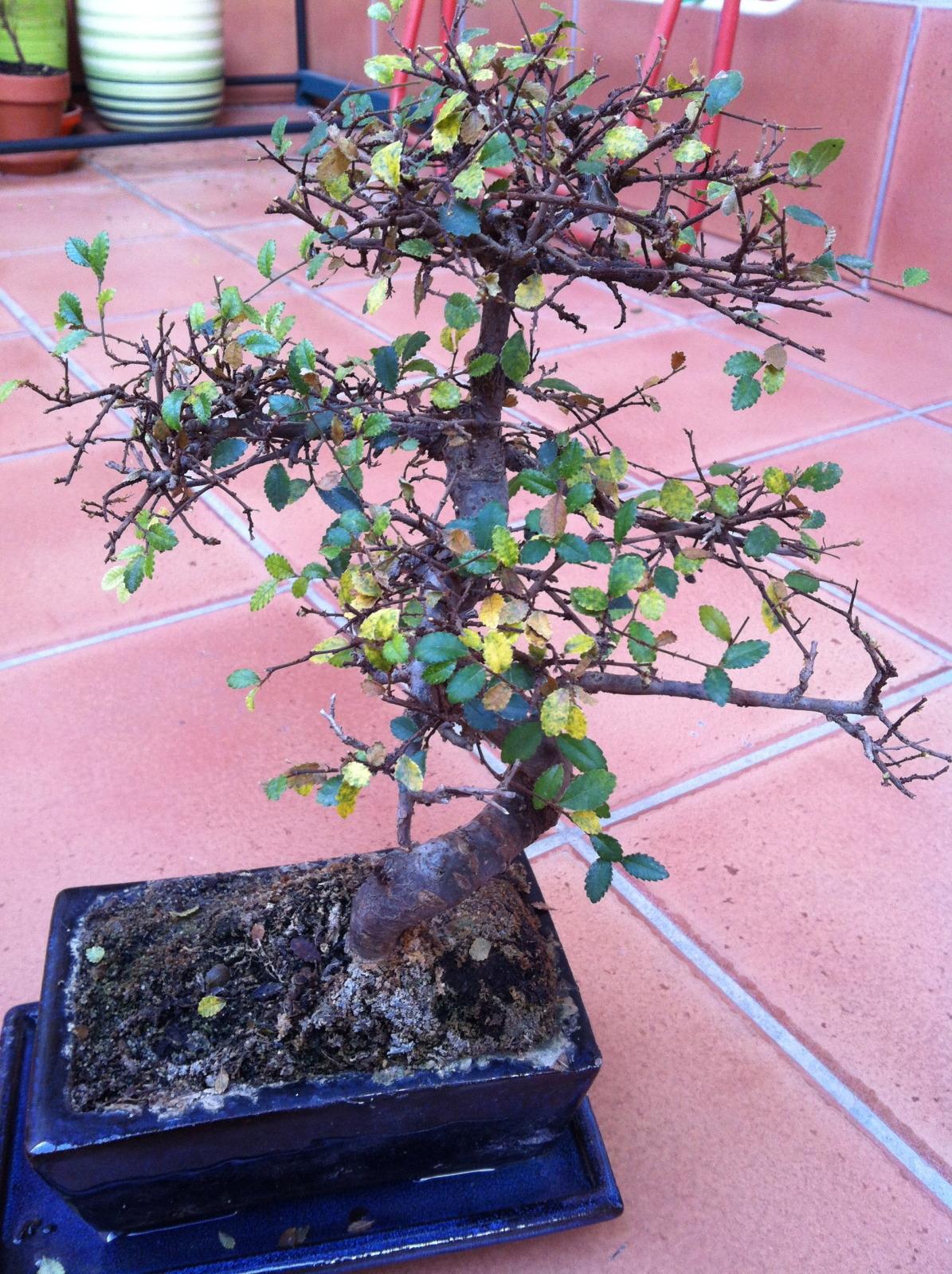Olmo chino caida de hojas P0ys5