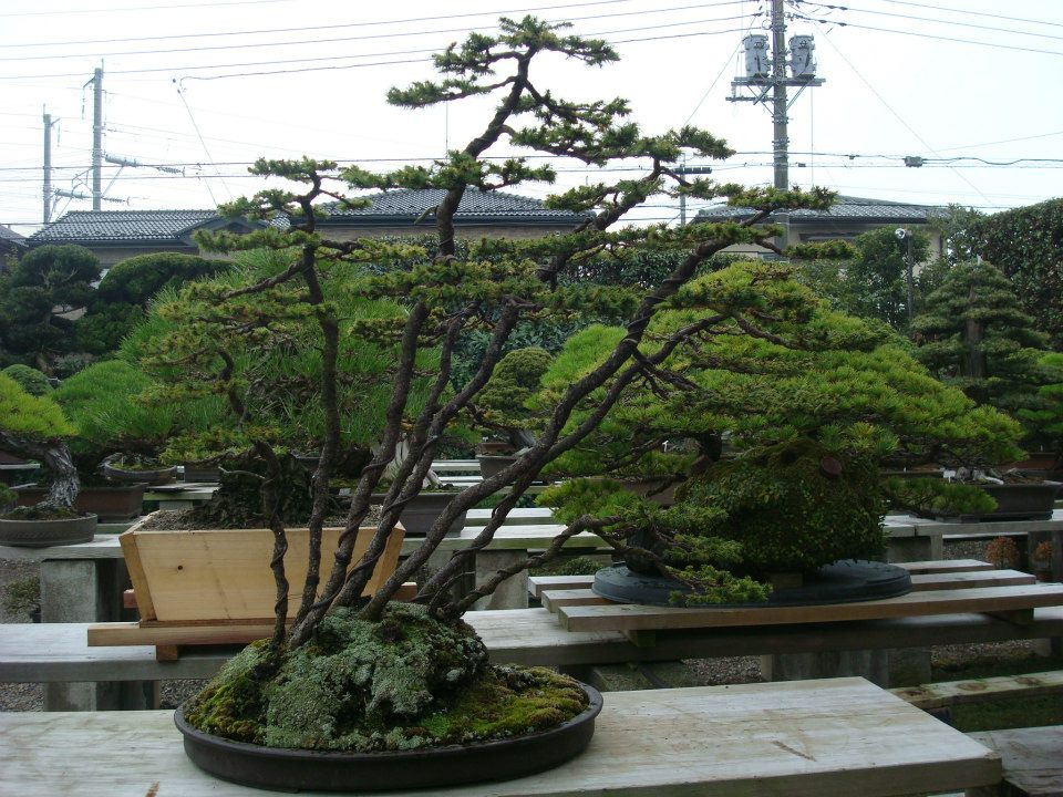 Presentación de los bonsais y la casa de Masahiko Kimura. - Página 2 Qox7nt