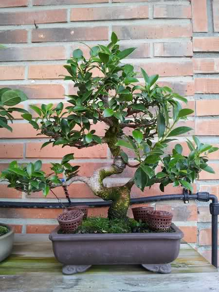 Evolucion de Ficus Retusa - Página 2 Sfclqu