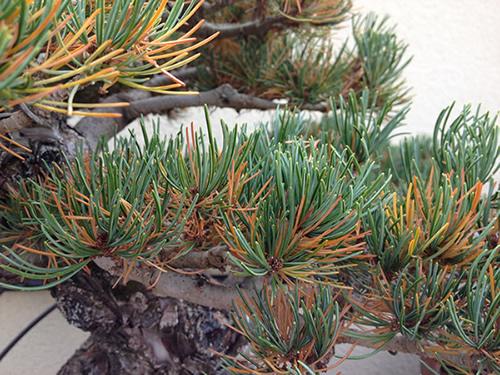 perdida considerable de aciculas en pino pentaphylla 1mfib