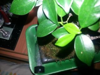 Posible infección en Ficus Retusa 2ls4k5