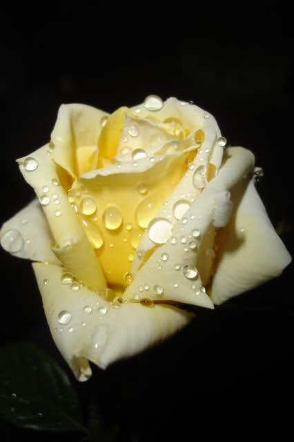 Los rosales de Gom 2mpdh94