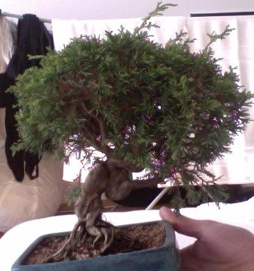 Poda y pinzado juníperus 2r61m9y