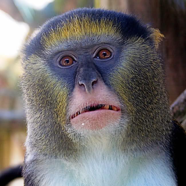Lenguaje Complejo en los Monos Campbell 33p9dar