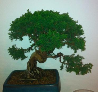 Poda y pinzado juníperus 3538evn