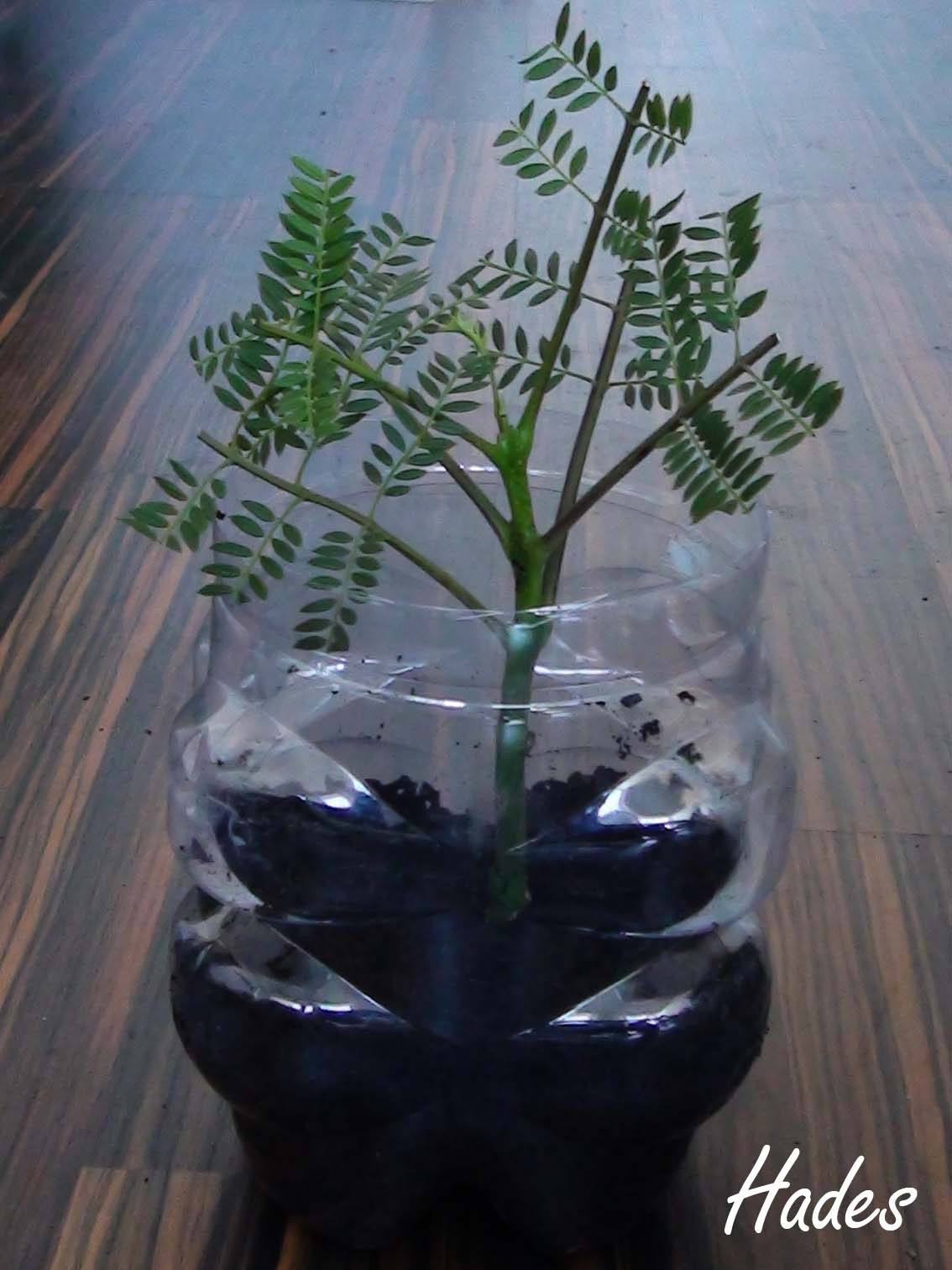 Ya tengo mi esquejito de Jacaranda Mimosifolia :) 5txjd3