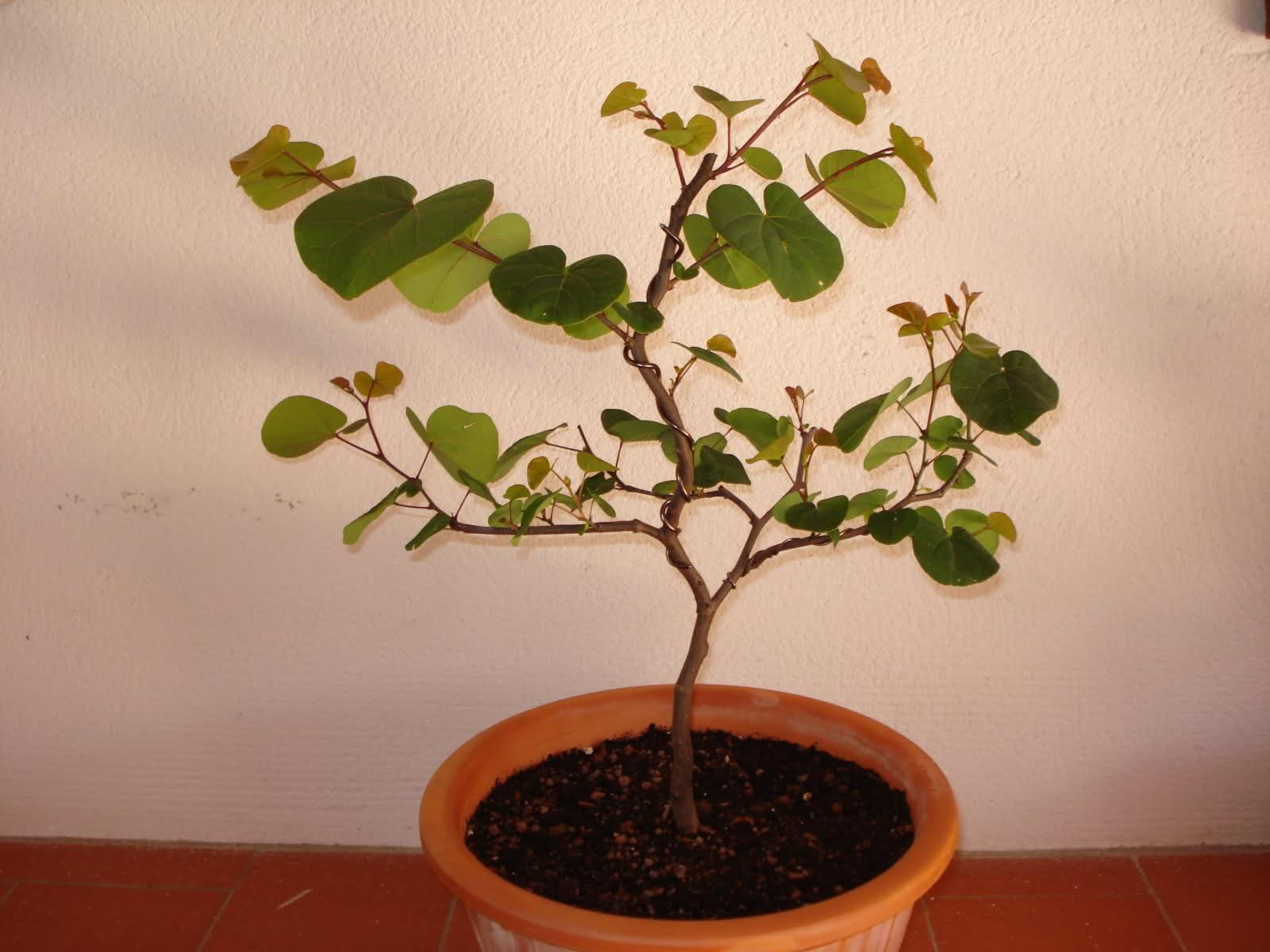 Esquejes de Cercis siliquastrum o árbol del amor 9858o9