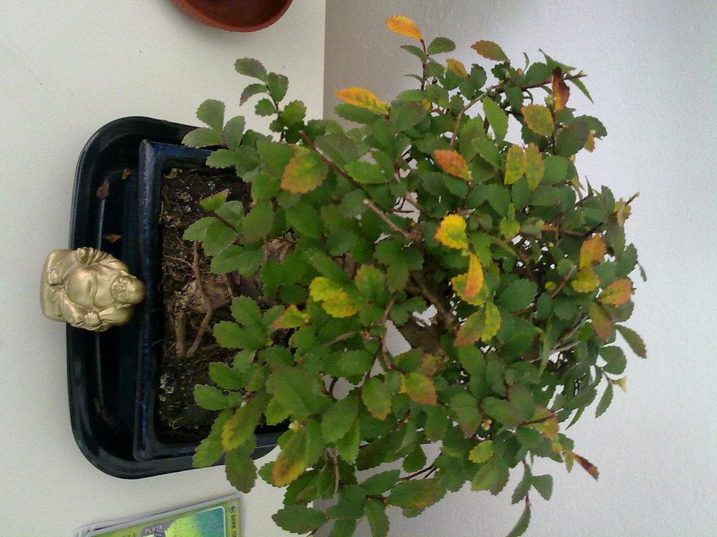 Primer Bonsai - Zelkova parvifolia se le ponen las hojas rojas y amarillas AYUDA Am8fuu
