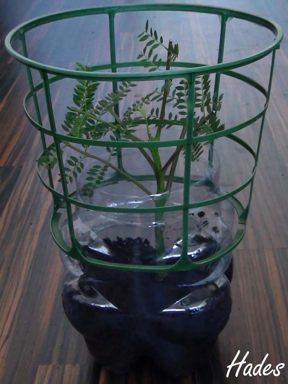 Ya tengo mi esquejito de Jacaranda Mimosifolia :) Vdys1