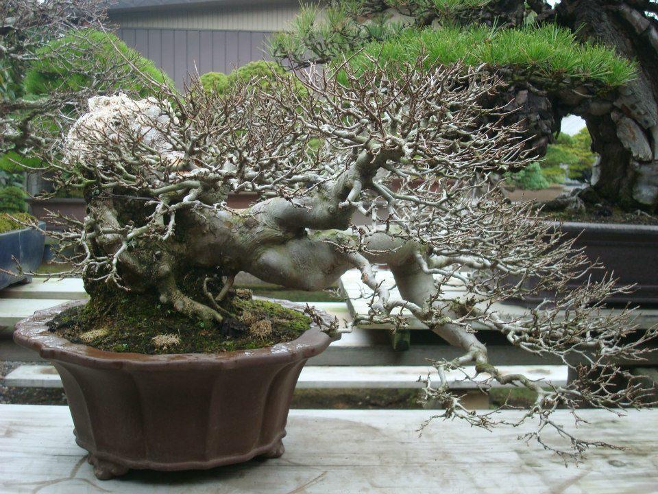 Presentación de los bonsais y la casa de Masahiko Kimura. - Página 2 Wjsvgo