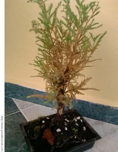 bonsai marron Wstzlw