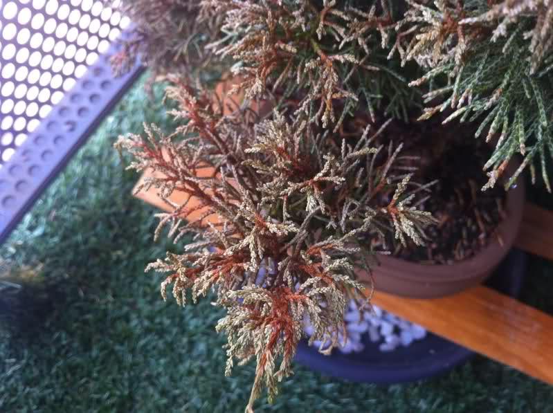 Enebro Juniperus Chinensis con posible Hongo Zv2z5i