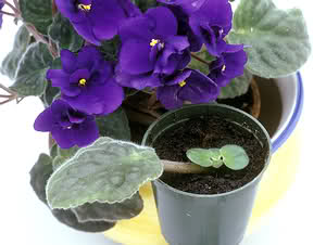 Violeta africana: pequeña desconocida - Página 2 20h605f