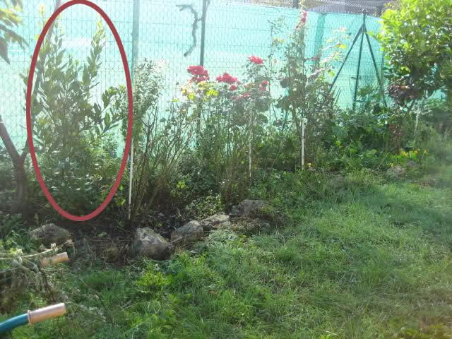 Un sueño.........Mil rosas en mi Jardin - Página 9 35iu0ph