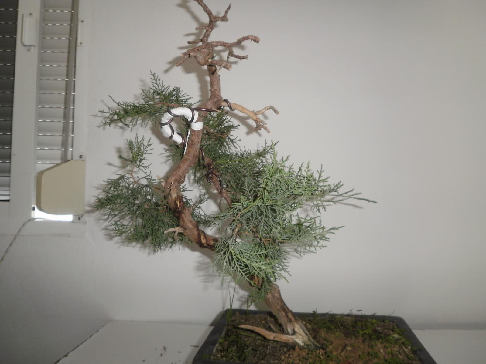 evolucion de junipero de vivero P25xj