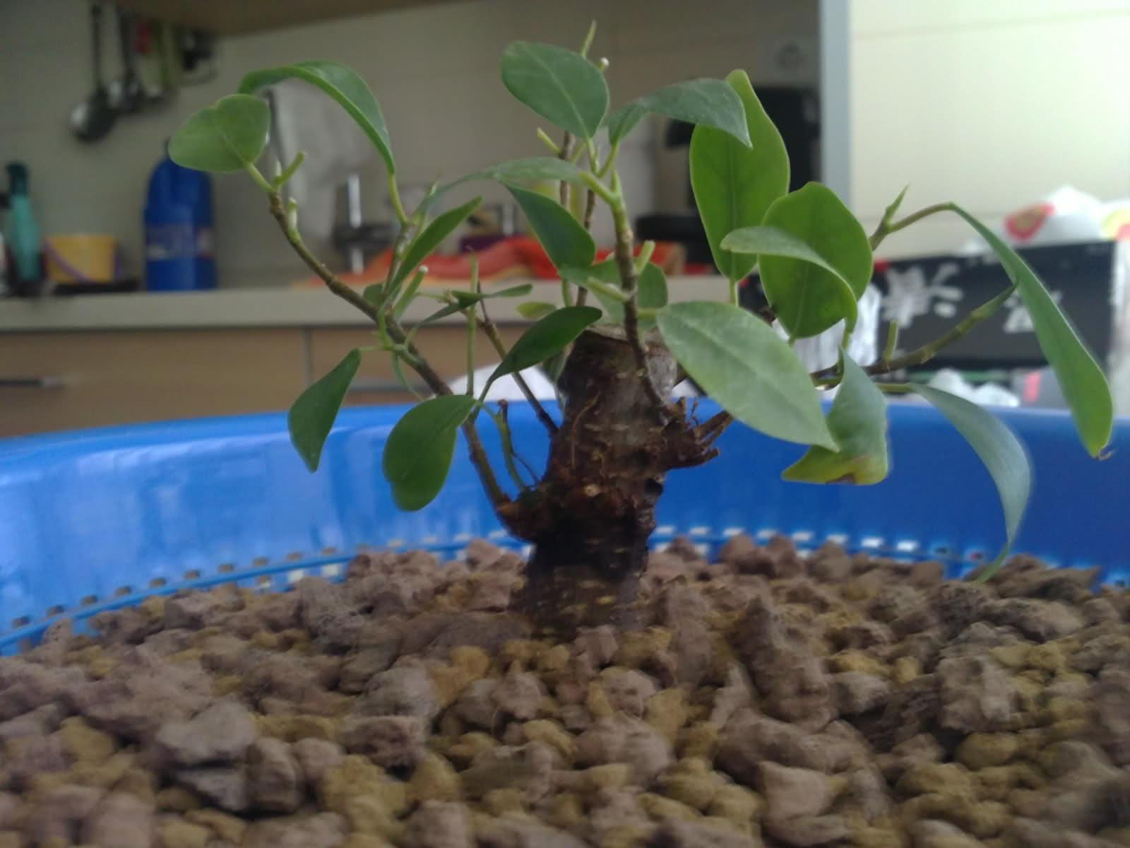 Ficus ginsen evolucion  - Página 2 S5y8ly