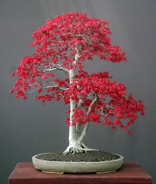 El precio justo en bonsais 24az6me