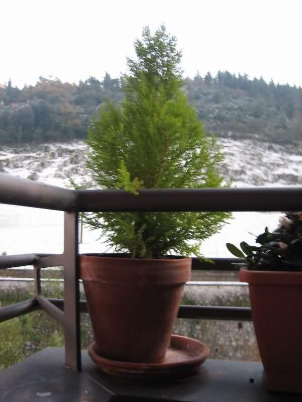 Hacer un bonsai de ciprés 295pjdf