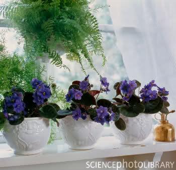 Violeta africana: pequeña desconocida 2mzek2a
