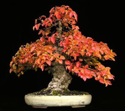 El precio justo en bonsais Adm1au