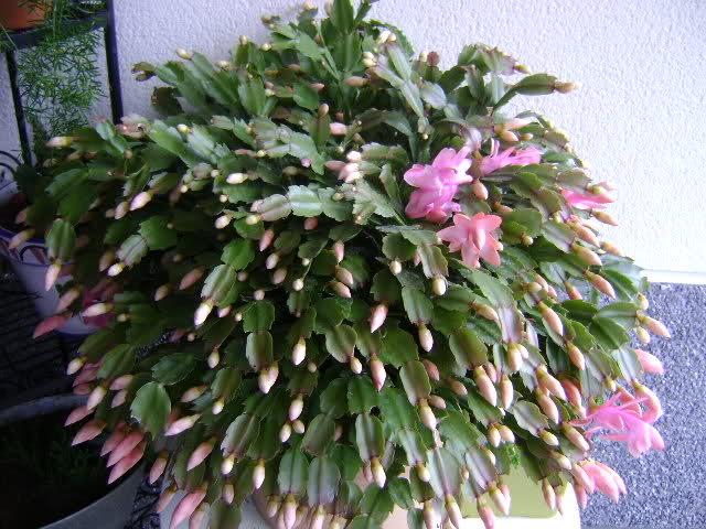 Cactus de Pascua, Cactus de Navidad, Pluma Sta Teresa y similares..... - Página 2 Apfw5h
