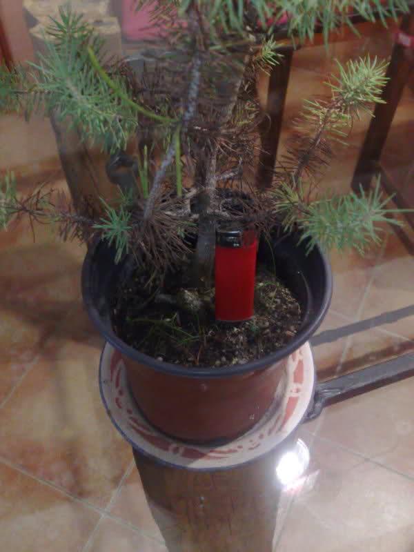 trasplantar un pino Xmqxds